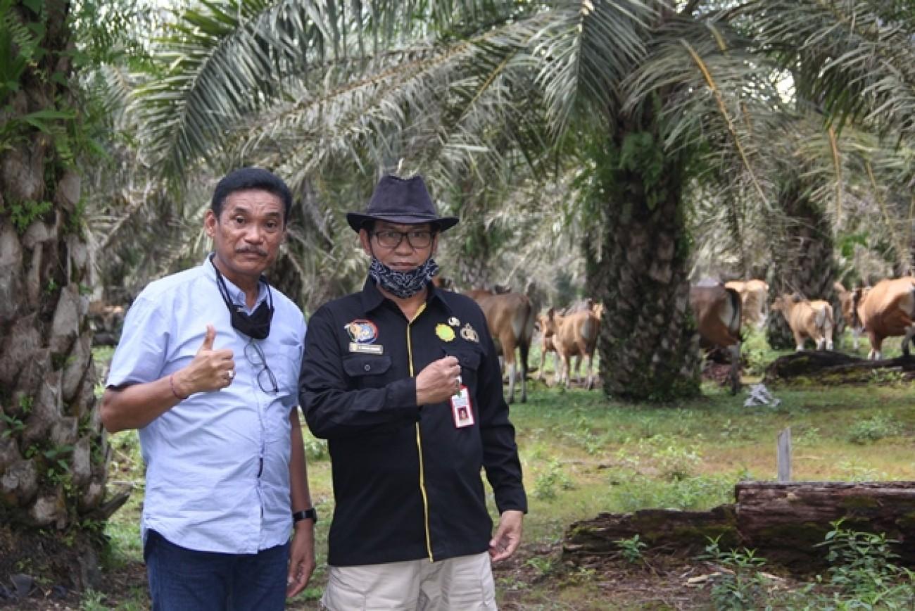 Kadis DKPH Tinjau Budidaya Sapi Di Perkebunan Kelapa Sawit Berau Berbasis Miniranch
