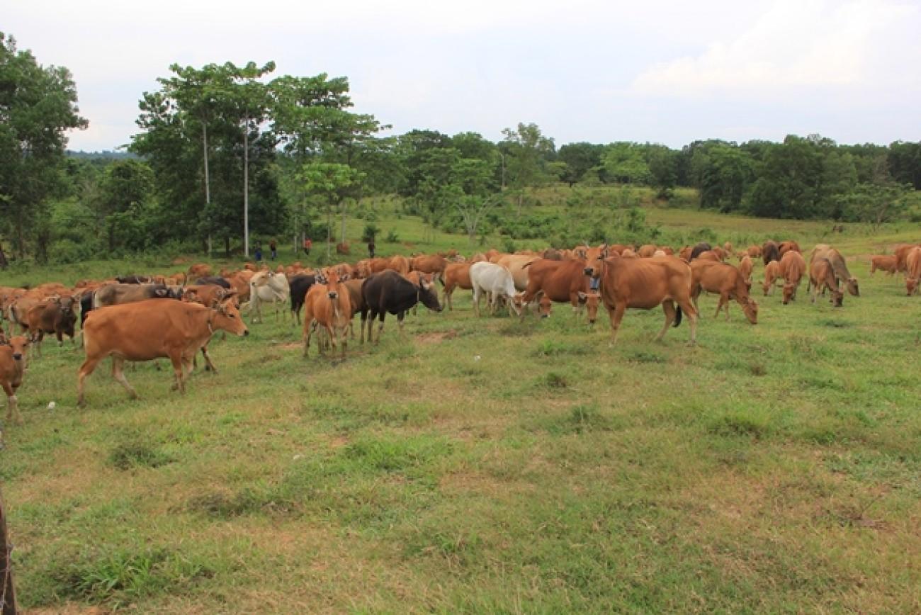 Memacu Produksi Daging Sapi