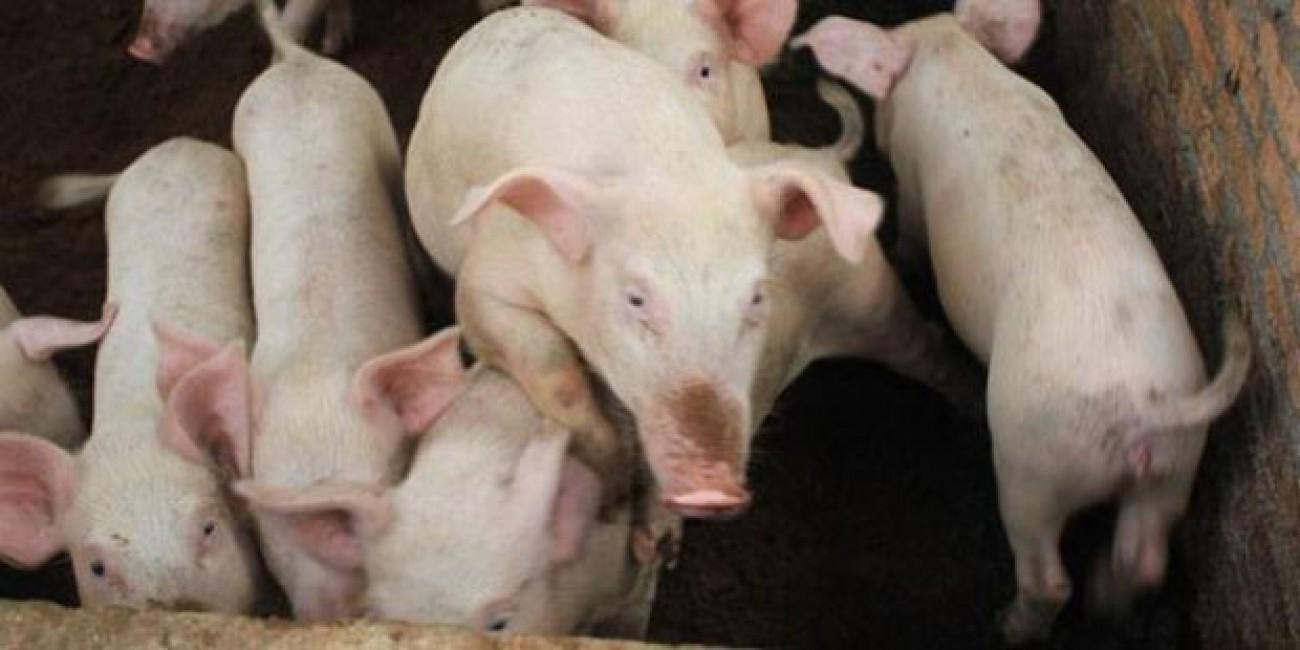 Pengembangan Babi di Kaltim Masih Menjanjikan
