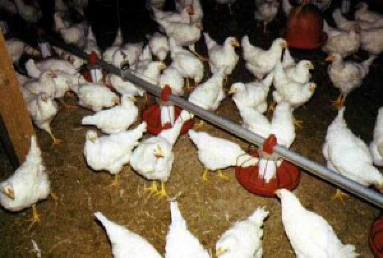 Targetkan 57 Juta Ekor Ayam di Akhir 2014