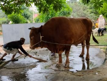 Hewan Qurban Milik Peternak Di Lempake di Beli Presiden Jokowi. Dinas PKH  Himbau Penyembelihan Qurban Gunakan Protokol Kesehatan