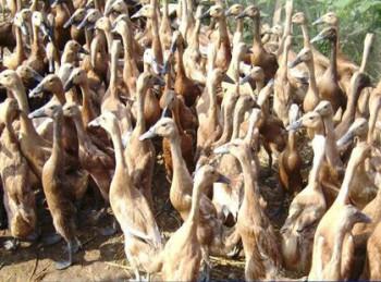 Populasi Itik Kaltim Capai 229.510 Ekor