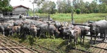 Berupaya Tingkatkan Populasi Kerbau