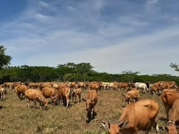 Potensi Pengembangan Kawasan Peternakan berbasis Mini ranch di Kalimantan Timur