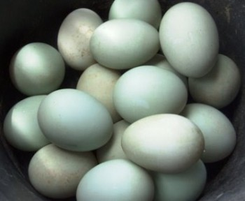 Kaltim Juga Mengkonsumsi Telur Itik Manila